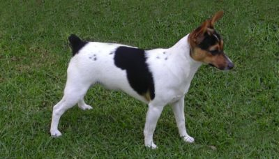 Dutch Shepherd Dog - Breeders