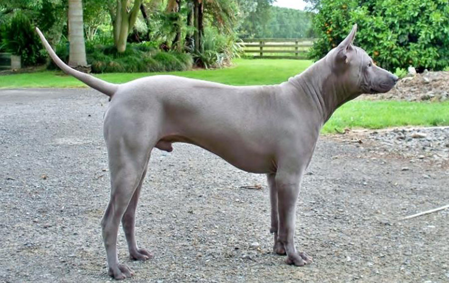 Thai Ridgeback – Breeders, Puppies and Breed Information