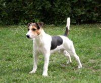 Parson Jack Russell Terrier - Breeders