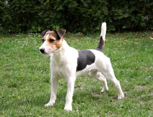 Parson Jack Russell Terrier – Breeders, Puppies and Breed Information
