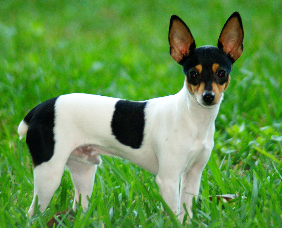 Toy Fox Terrier - Breeders