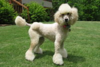 Toy Poodle - Breeders