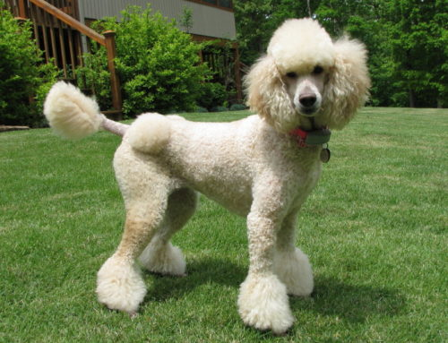 Toy Poodle – Breeders, Puppies and Breed Information