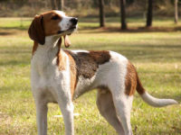 Treeing Walker Coonhound - Breeders