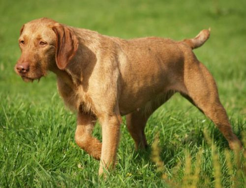 Vizsla, short-haired and wire-haired – Breeders, Puppies and Breed Information
