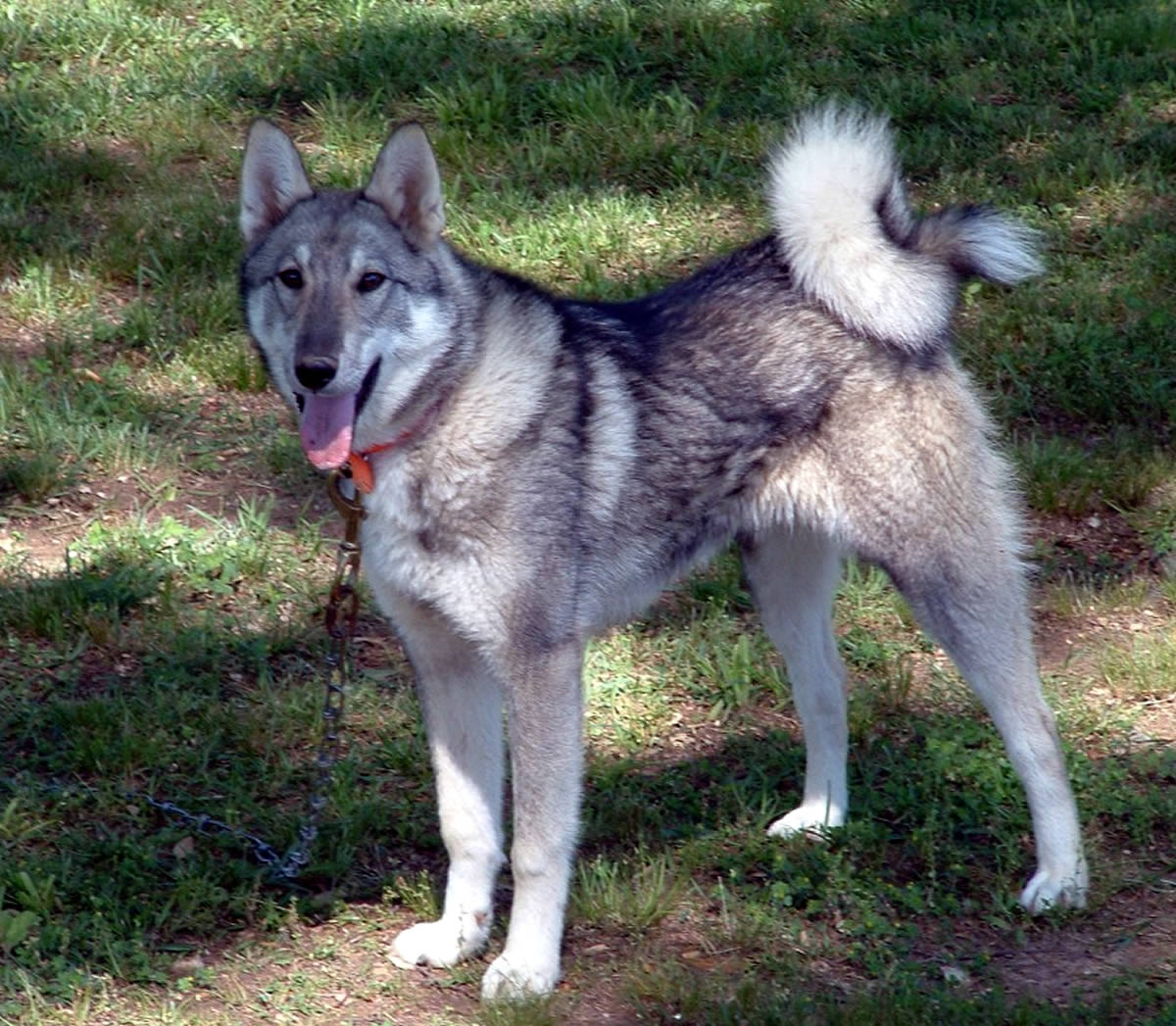 West Siberian Laika – Breeders, Puppies and Breed Information