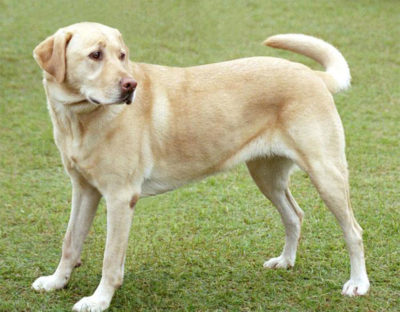 Labrador Retriever - Breeders
