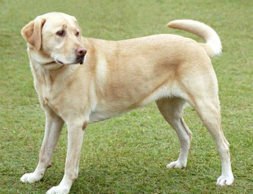 Labrador Retriever – Breeders, Puppies and Breed Information