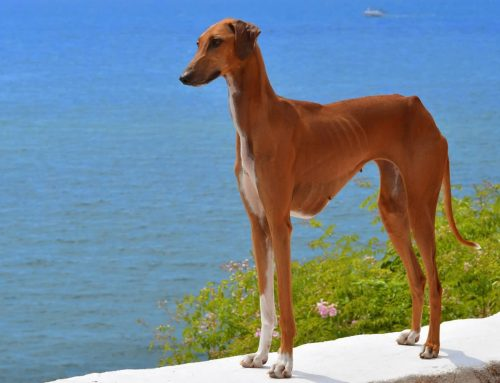 Azawakh – Breeders, Puppies and Breed Information
