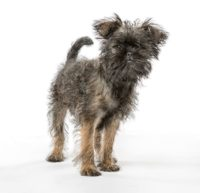 Affenpinscher Dog - Breeders