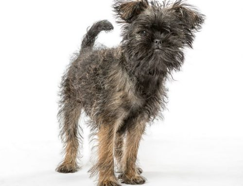 Affenpinscher Dog – Breeders, Puppies and Breed Information