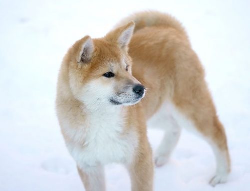 Akita or Akita Inu – Breeders, Puppies and Breed Information