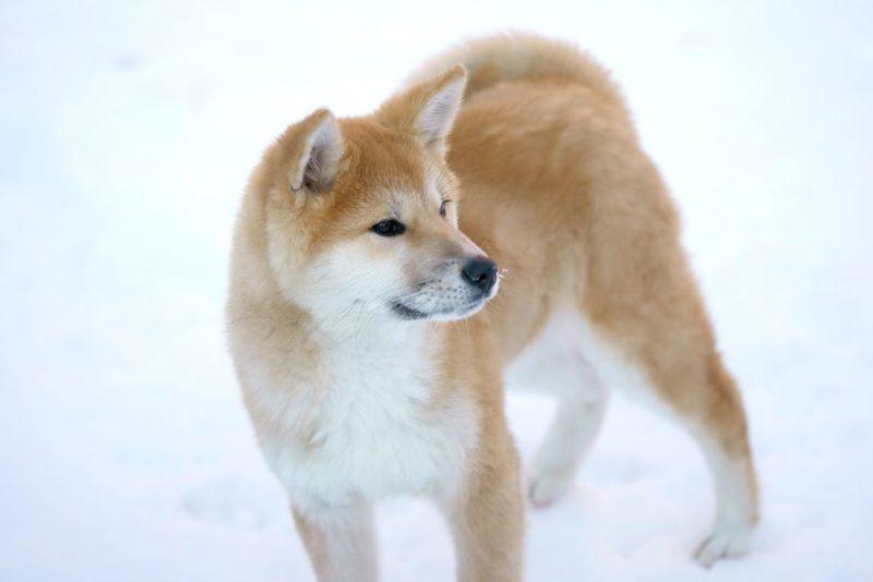 Akita or Akita Inu - Breeders
