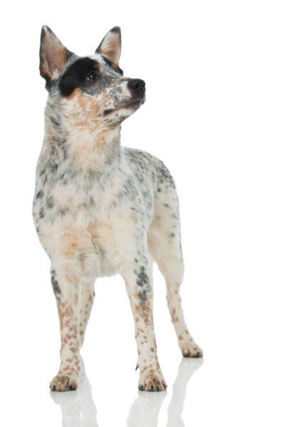 Australian Cattle Dog - Breeders