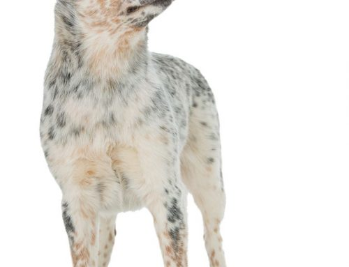 Australian Cattle Dog – Breeders, Puppies and Breed Information