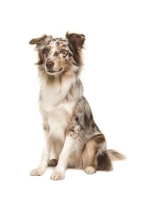 Australian Shepherd - Breeders