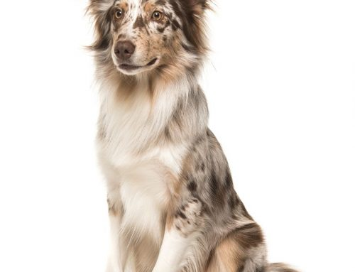 Australian Shepherd – Breeders, Puppies and Breed Information