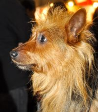 Australian Terrier - Breeders