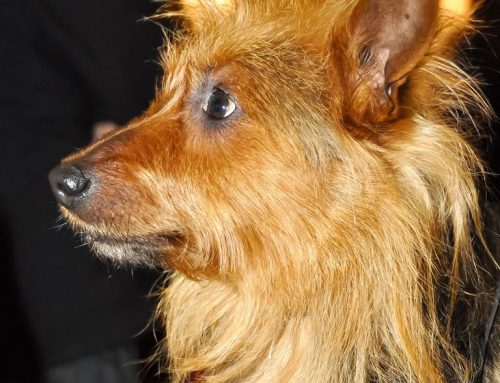 Australian Terrier – Breeders, Puppies and Breed Information