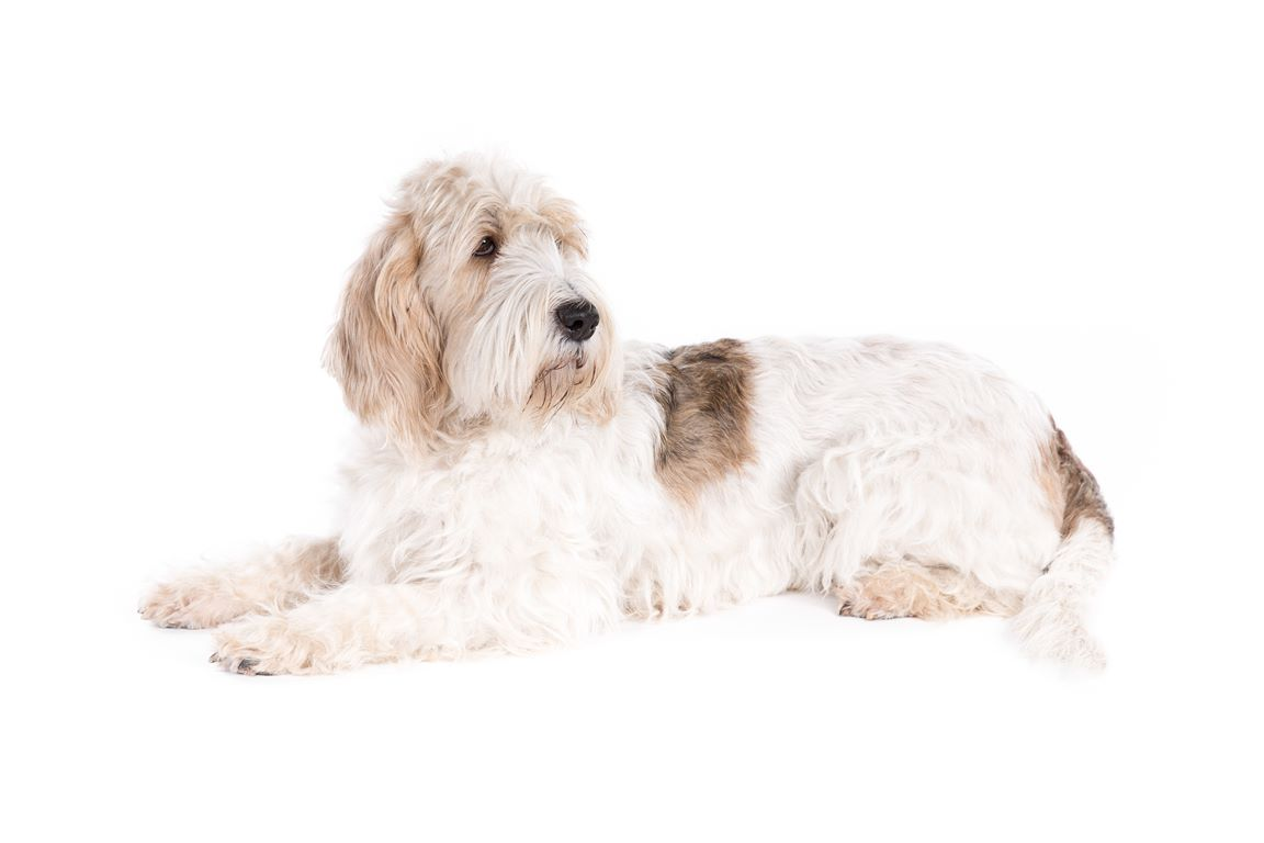 Basset Griffon Vendeen – Breeders, Puppies and Breed Information