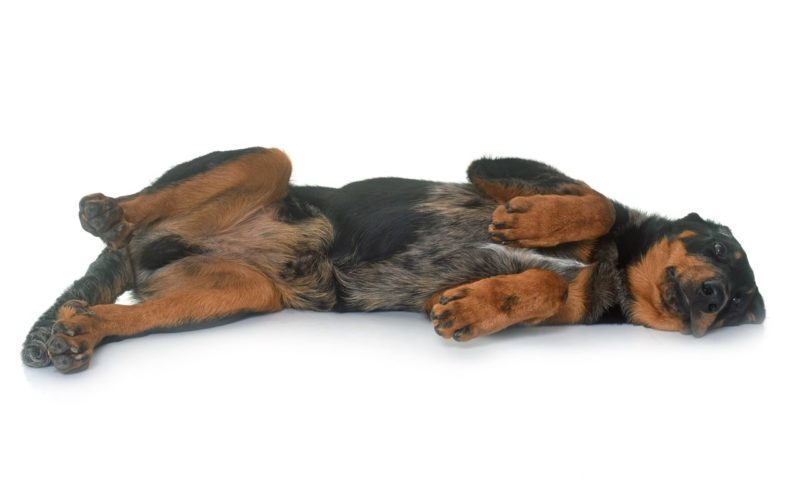 Beauceron - Breeders
