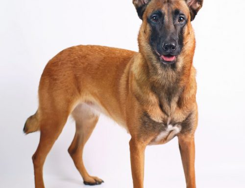 Belgian Malinois – Breeders, Puppies and Breed Information
