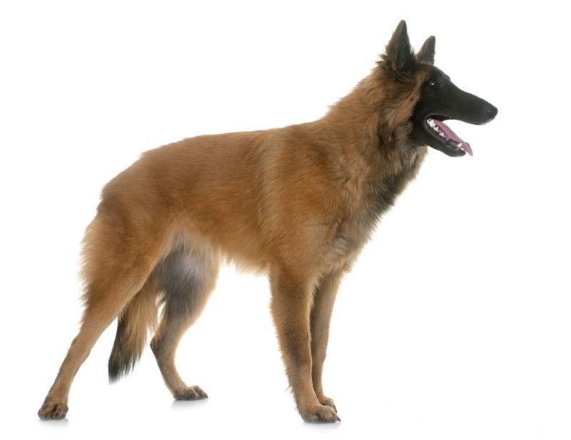 Belgian Shepherd Dog(Tervueren) - Breeders