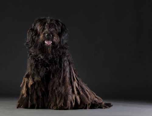 Bergamasco Dog – Breeders, Puppies and Breed Information