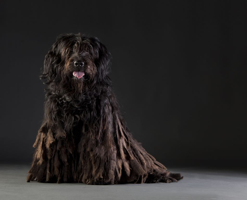 Bergamasco Dog - Breeders