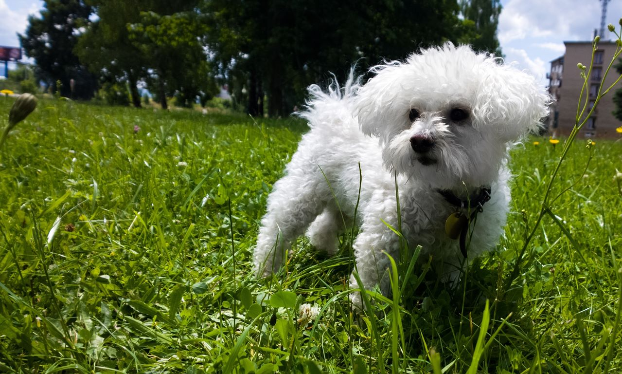 Bichon Frise – Breed Information, Puppies and Breeders – Breeders, Puppies and Breed Information
