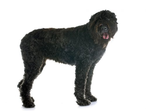 Bouvier des Flandres – Breeders, Puppies and Breed Information