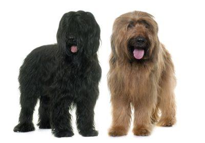 Briard Dog - Breeders