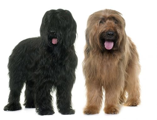 Briard Dog – Breeders, Puppies and Breed Information