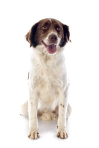Brittany Spaniel - Breeders