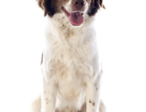 Brittany Spaniel – Breeders, Puppies and Breed Information