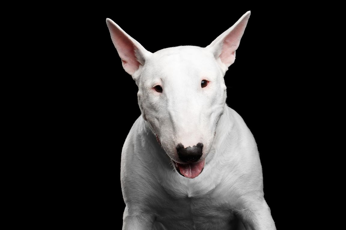Bull Terrier – Breeders, Puppies and Breed Information