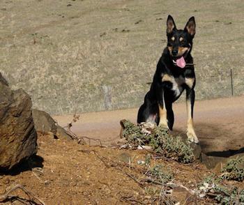 Midgbar-Barclays Kelpies - Dogs Australia