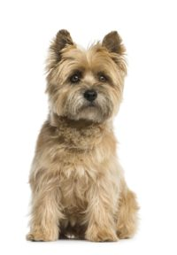 Cairn Terrier - Breeders