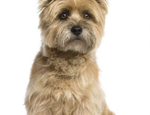 Cairn Terrier – Breeders, Puppies and Breed Information