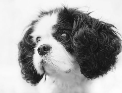 Cavalier King Charles Spaniel – Breeders, Puppies and Breed Information