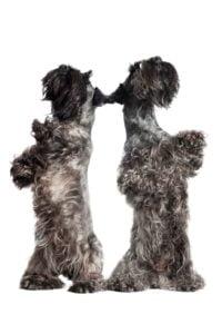 Cesky Terrier - Breeders