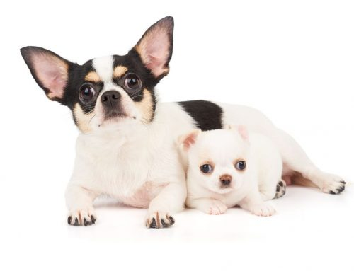 Chihuahua – Breeders, Puppies and Breed Information