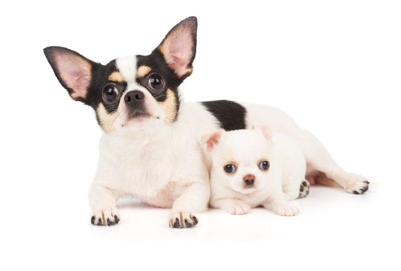 Chihuahua - Breeders