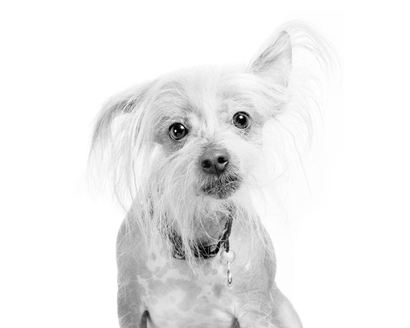 Chinese Crested Dog - Breeders