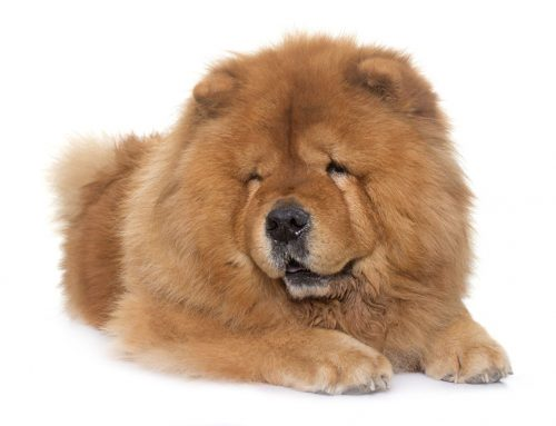 Chow Chow – Breeders, Puppies and Breed Information