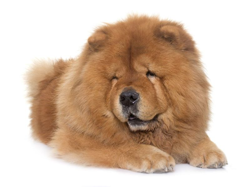 Chow Chow - Breeders