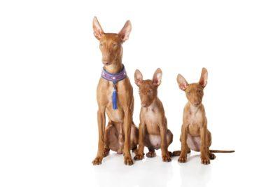 Cirneco dell'Etna Dog - Breeders