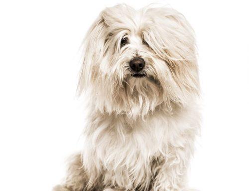 Coton de Tulear – Breeders, Puppies and Breed Information