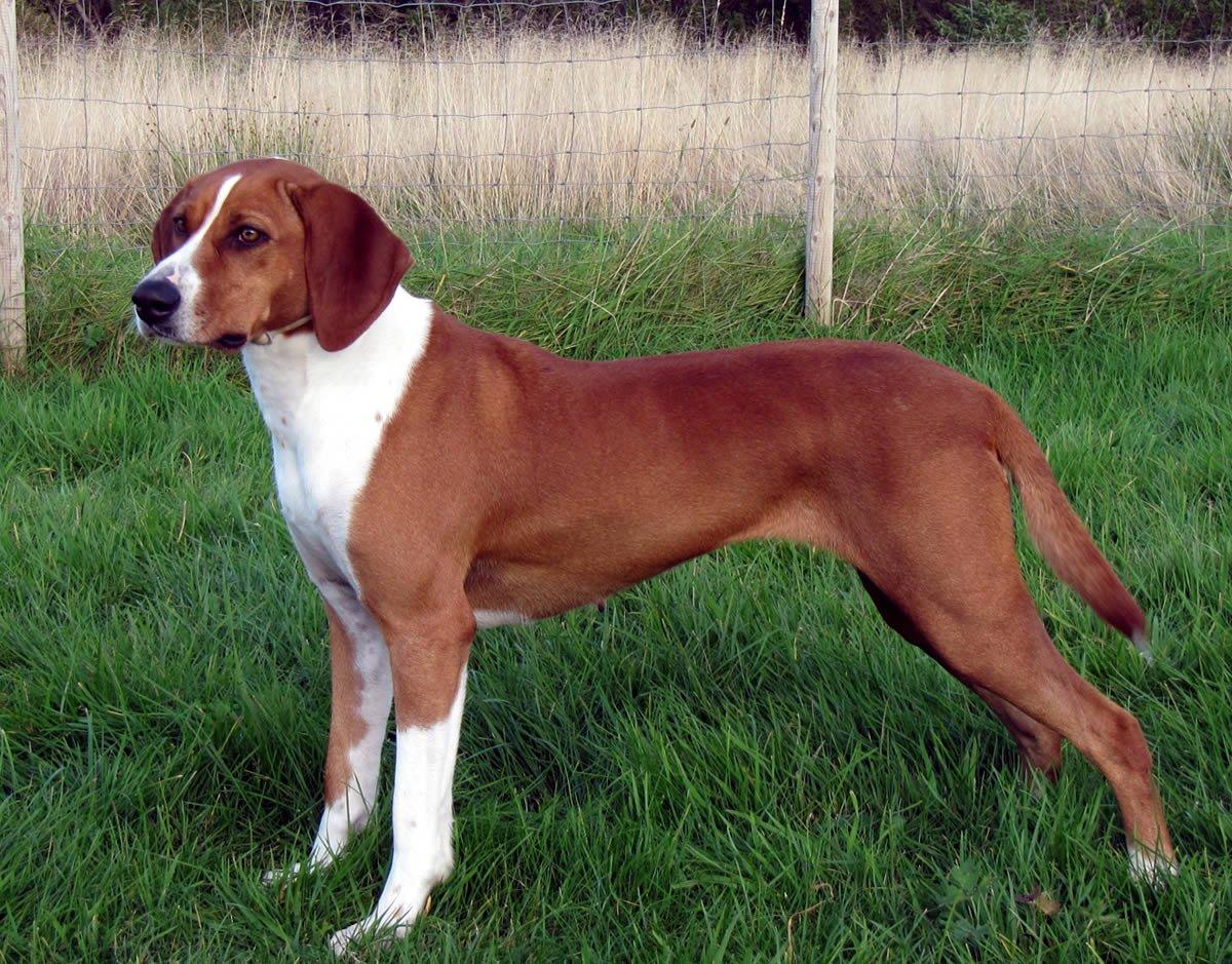 Deutsche Bracke or Steinbracke – Breeders, Puppies and Breed Information