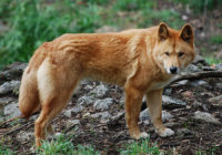 Dingo - Breeders